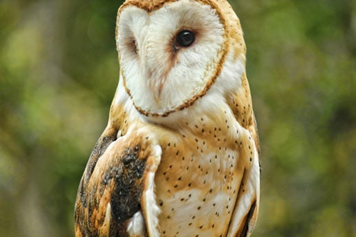 Barn Owl at LBL Nature Station