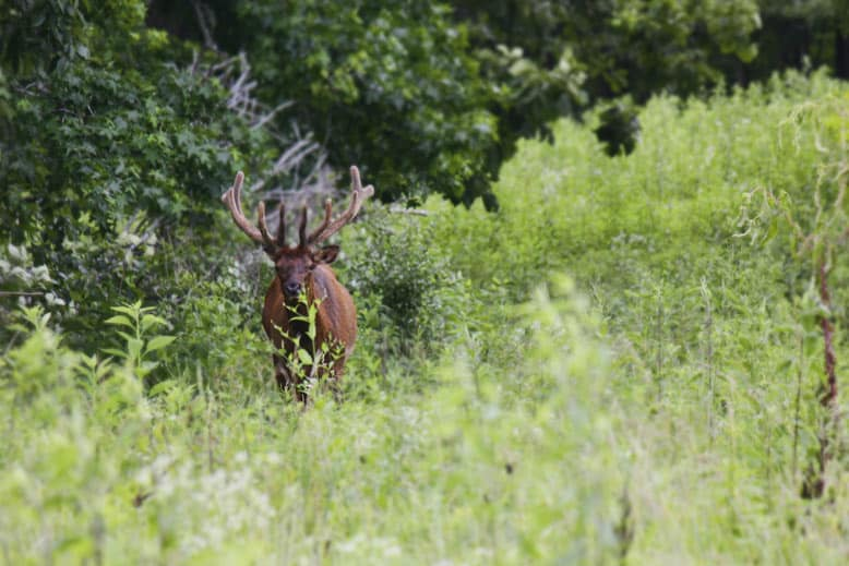 An actual fuzzy antlered elk, eating and starring at the lens