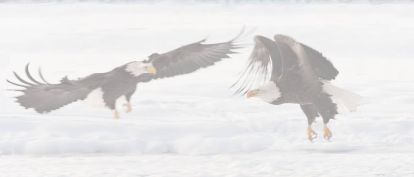 American Bald Eagles in Winter at LBL on Watch Tours