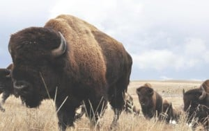 Bison on LBL Prairie